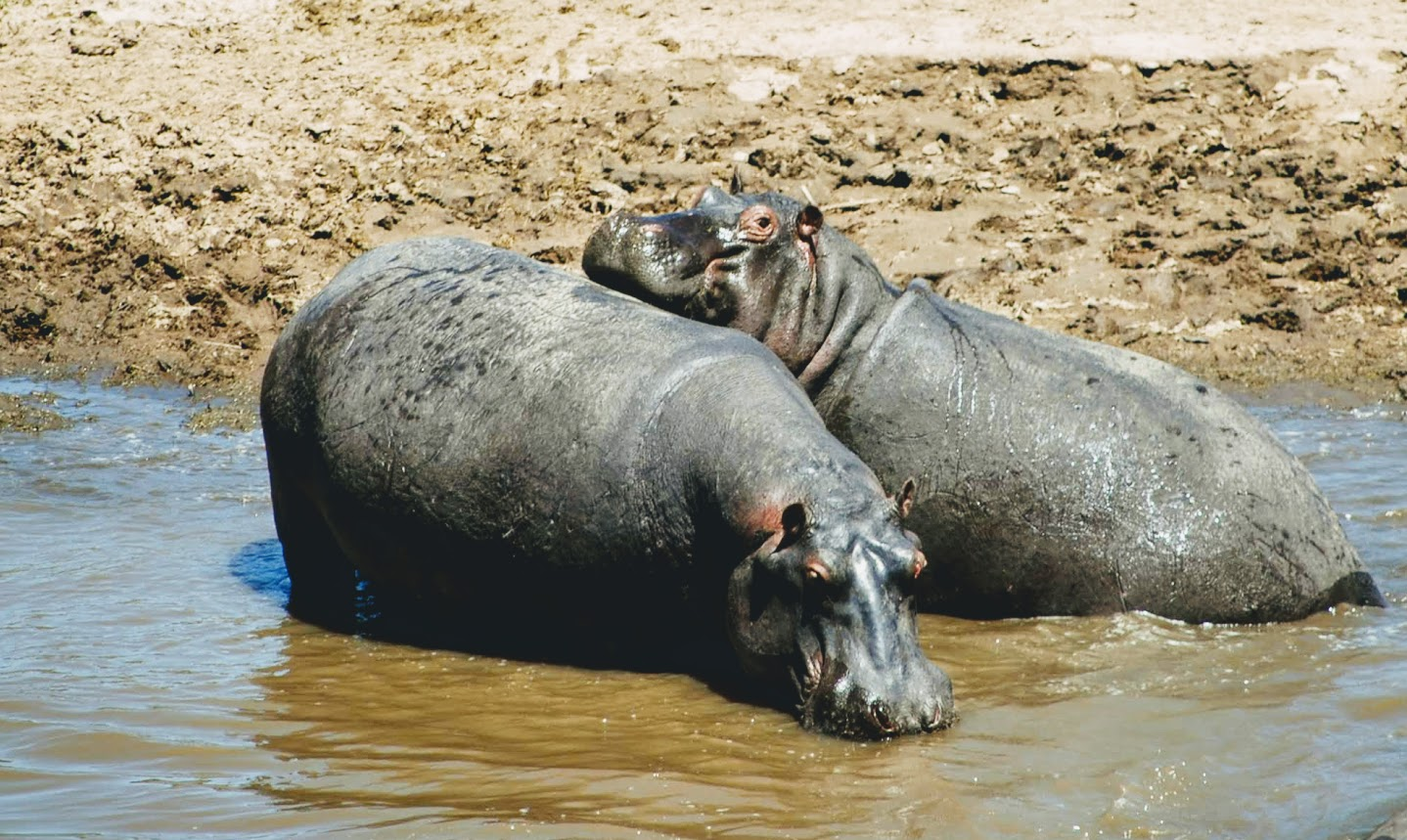 flodhästar